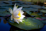 water lily flower on lake - 220232204