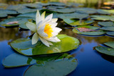 water lily flower on lake - 220232230