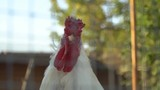 smug  white cock in bird yard close up - 220233682