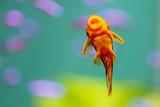 Portrait of a goldfish in an aquarium