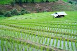 transplant rice terrace seedlings field in Ban Pa Bong Piang, Chiagmai, Thailand. - 220240688