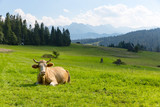 cow on pasture in mountains - 220241672