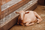 Goat in pen on an ecological farm in mountains. - 220250445