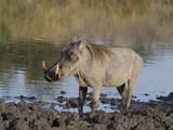 Warthog, Phacochoerus aethiopicus - 220257409