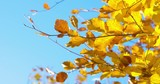 Autumn Impressions - beautiful autumn leaves against the blue sky - ProRes - 220290645