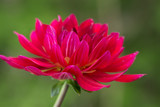 Side View of a Vibrant Pink Dahlia with a Green Background - 220299821