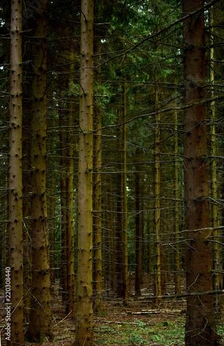 las świerkowy latem, pnie drzew - 220308440