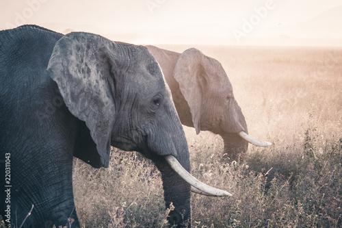 Fototapeta Elephant in Serengeti