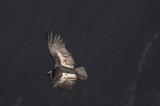 Condor, Cruz del Condor, Canyon del Colca, Pérou - 220311223
