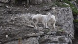 Mountain Goats Interact on Rocky Outcropping - 220313281