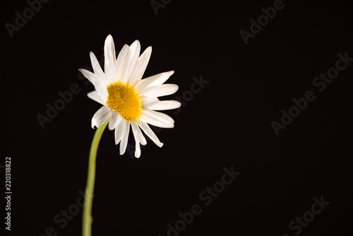 Gerbera Daisy, white on black - 220318822