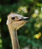head of an ostrich, detailled closeup, backlit by sunlight, defocused background - 220319238