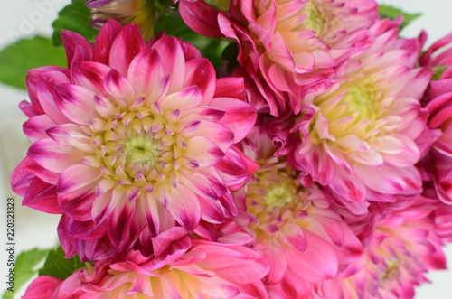Pink and yellow flower on a white background isolated with clipping path. Closeup. big shaggy flower. for design. Dahlia. - 220321828