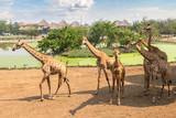 Giraffe in Zoo in Bangkok - 220324603