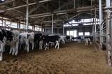 牛舎の乳牛