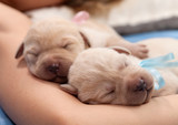 Adorable yellow labrador puppy dogs sleeping on owner arm - 220361866