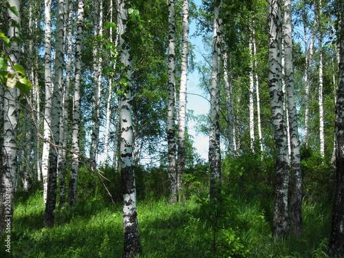 siberia summer forest