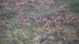Group of impalas running, seen from the air - 220380816