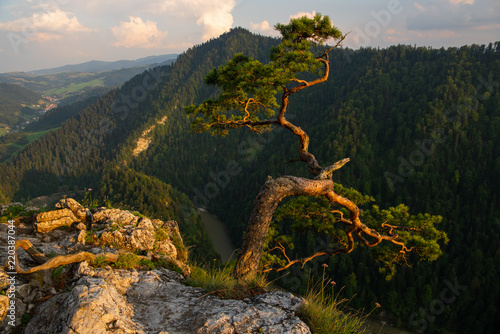 Sokolica pine tree on top of mountain