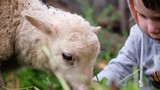 Little child girl feeds the lamb with fresh grass. Small lamb chews grass close-up, slow motion - 220394653