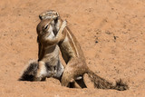 Two ground squirrels engaged in a difference of opinion in the Kgalagai Transfrontier Park - 220400498