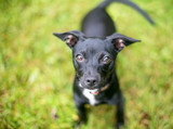 A cute black Chihuahua mixed breed dog looking up at the camera