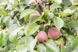 many pears on tree - 220418095