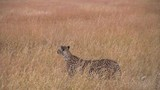 Cheetah walking in field - 220428043