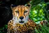 Cheetah - 220433627