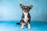Little Cute Chihuahua Dog breed. Blue background