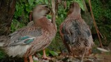 telephoto shot of wild duck in the jungle - 220449046