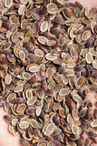 ripe brown dill seeds - 220455079