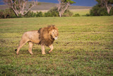 Large Male Lion Walking Across the Grass in the Ngorongoro Crater in Tanzania. - 220458269