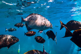 Underwater world with big tropical fish in blue ocean - 220473415