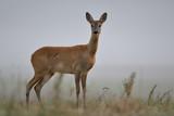 Sarna we mgle / na dzikich łąkach Doliny Pilicy - 220475696