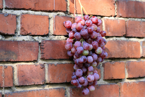 Foto Murales Bunch of grapes hanging on a brick wall an old, country house. An element of outdoor decoration on the occasion of a harvest festival at the end of summer.