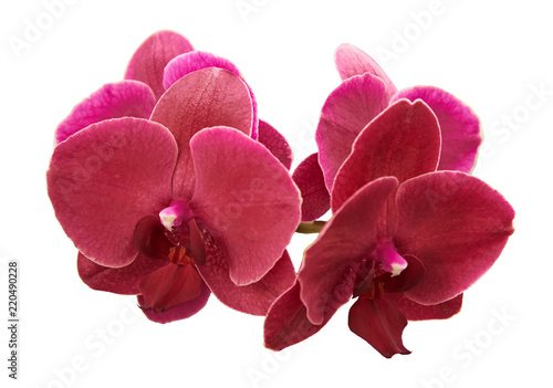 Beautiful purple orchids. Isolated on a white background