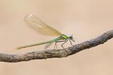 Damigella femmina (Calopteryx virgo) - 220490647