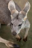 the kangaroo portrait - 220500473