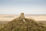 Cheetah - 220506886