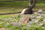 The black and white goat rests on the stones. - 220510677