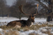 Red deer stag lying in snowy grass