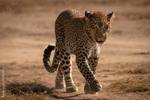 Fototapeta Leopard walks on track with paw raised