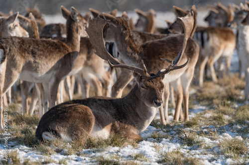 Stag lying in snowy park among herd