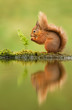 Leinwandbild Motiv Reflection of a red squirrel