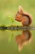 Leinwanddruck Bild - Reflection of a red squirrel