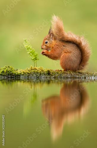 Leinwanddruck Bild Reflection of a red squirrel