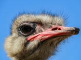 Ostrich Head - 220520876