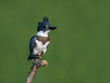 Belted Kingfisher Portrait on Green Background