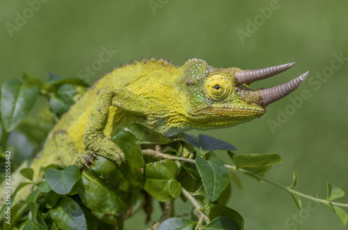 Kolorowy kameleon Jacksona (Trioceros jacksonii)